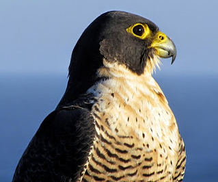 peregrine falcon lithuania vilnius nida curonian spit bird-watching