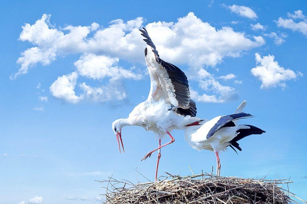 stork on a nest